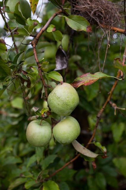 Apple Orchard-109