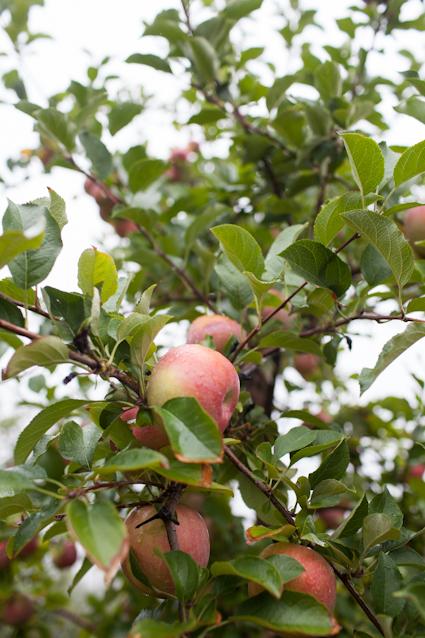 Apple Orchard-27