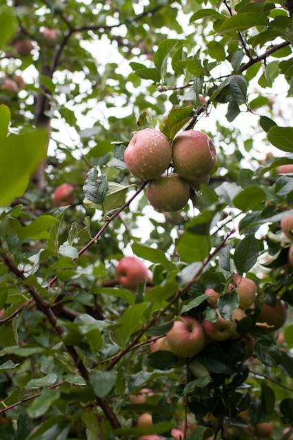 Apple Orchard-8